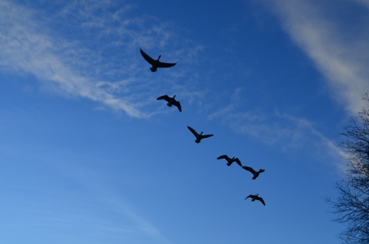 geese_flock_flight_sky_blue_animals_background-1153883.jpg!d
